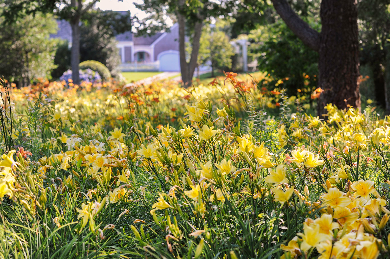 Sustainable garden of daylilies