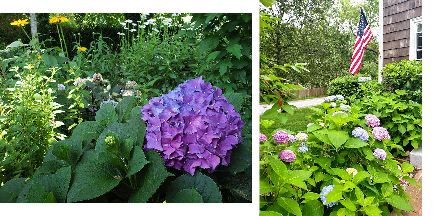 Summer Garden Celebration—2020 Cape Cod Hydrangea Festival