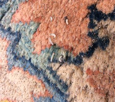 New Dimension - Rug infested with moth larvae and eggs to be treated with moth protector.