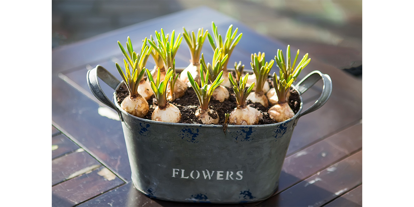 Sprouting potted spring bulbs
