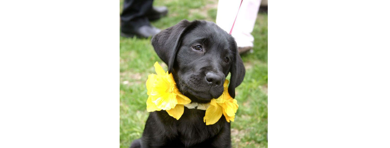 Dog decorated for Nantucket Daffodil Festival